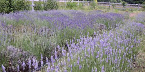 Three tips for lavender growth: 1. Blazing sunlight 6-8 hours per day. 2. Well-drained soil. More lavender dies from wet roots than any other cause. 3. Sweet soil (alkaline soil.) Crushed oyster shell is recommened.