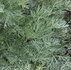 Artemisia 'Powis Castle': Artemisias are prized for their light, almost silver, aromatic foliage rather than for their flowers, which are dull and insignificant. This cultivar has fine, fern-like, aromatic leaves and tiny, yellow-tinged silver flowers in August.