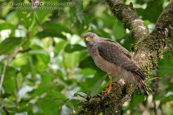 Káně Gmelinova Roadside Hawk (Buteo magnirostris)
