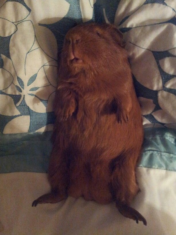 151 best images about small critters on pinterest cavy for How to make a guinea pig bed