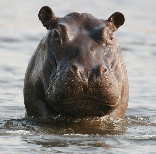 Hippopotamus 4 (Hippopotamus amphibius) | Flickr - Photo Sharing!