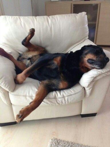 rottweiler funny sleeping