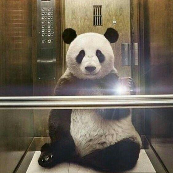 Panda selfie