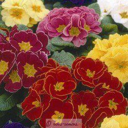 Prvosenka bezlodyšná směs barev- Primula acaulis - 20 Ks