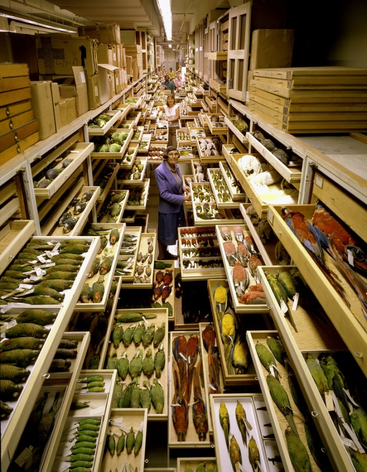 The bird collection at the National Museum of Natural History, c. 1970.