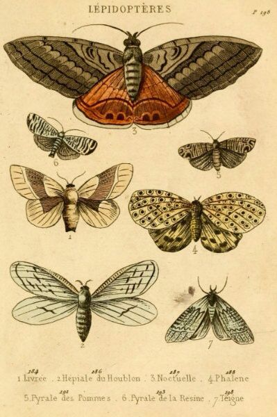 Antique Lépidoptères illustration, study from a vintage French natural history book