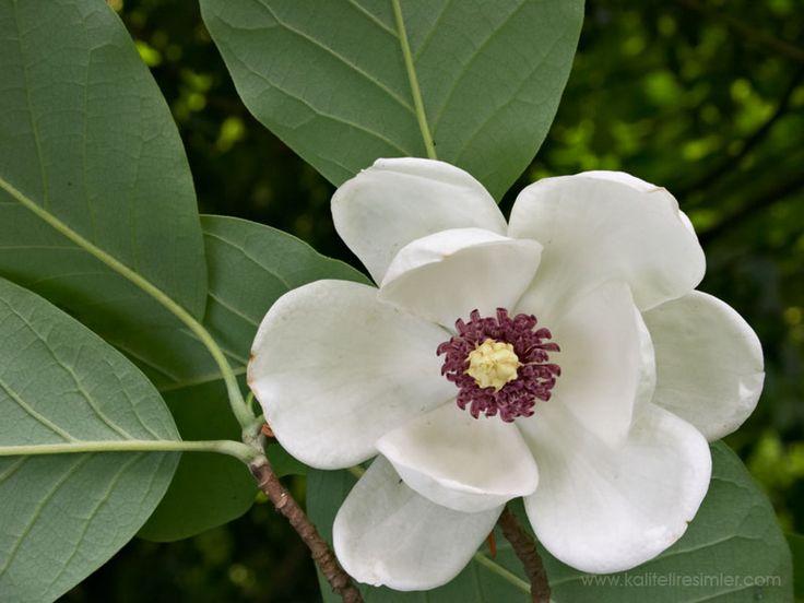 Magnolia grandiflora Manolya  Mayıs Ağustos aylarında açan çiçekleri beyaz renkli ve güzel kokuludur. Orta hızla büyür. B...