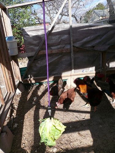 Toys for chickens ~ lots of good ideas for ways to entertain chickens, keeping them from getting into trouble due to boredom.