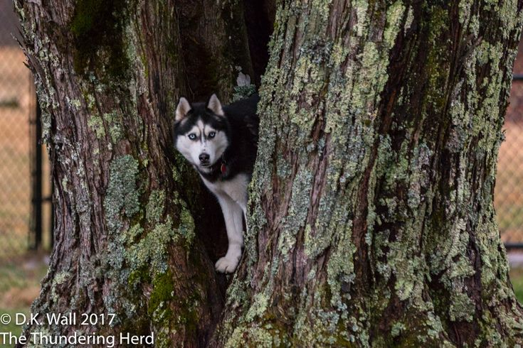 Does playing in the tree fort count as indoor games on a rainy day? #dogs #siberianhusky #husky