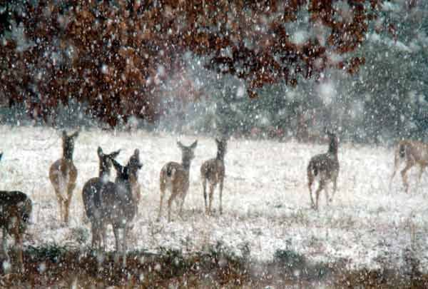 The deer in Rome, GA were tired of the reindeer having all of the fun, so they decided to take a cue from their cousins at the North Pole and play in the snow. Well, at least that's what I like to think was going on.