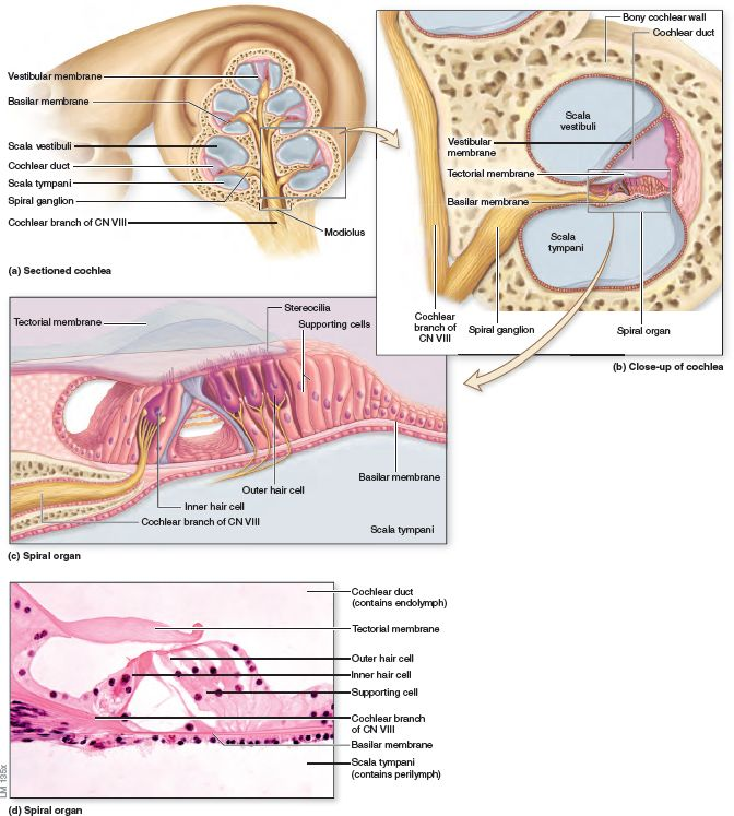 structure of the cochlea and spiral organ the cochlea cochlea spiral diagram get wiring diagram