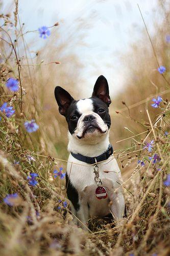 boston terrier #dogs #animal #boston #terrier