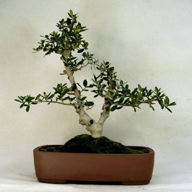 10 Olive Tree Olea Europaea Seeds Etsy Bonsai Tree Olive Tree