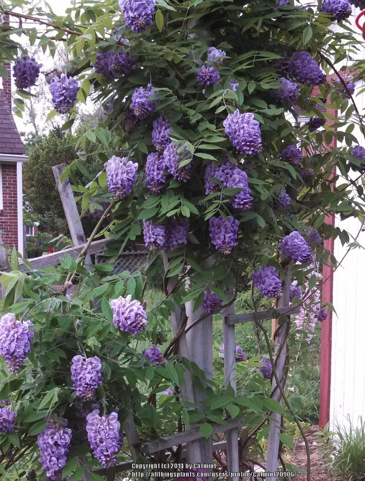 Photo of American Wisteria (Wisteria frutescens 'Amethyst Falls') uploaded by Catmint20906