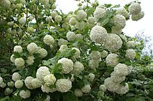 Gewöhnlicher Schneeball - Sommergrüner Strauch, 1,5 - 6 m, Blütezeit Mai-August