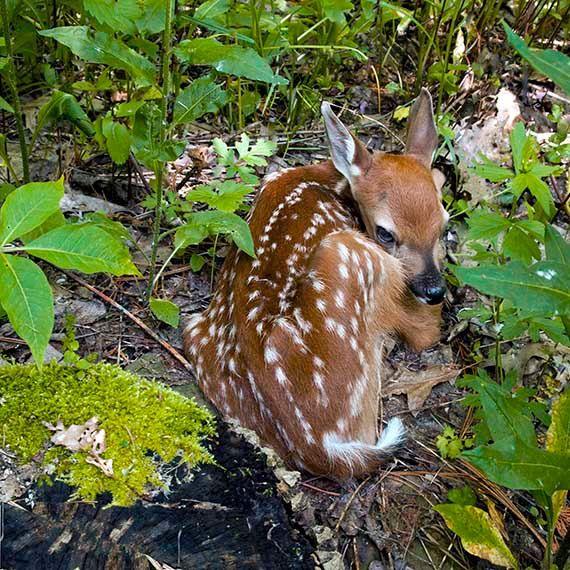 Photograph of Baby DeerPhoto of Baby Animal by ASHnatkoDesigns