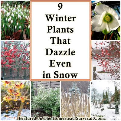 The Homestead Survival | 9 Winter Plants That Dazzle Even in Winter Snow | Homesteading - Gardening - http://thehomesteadsurvival.com