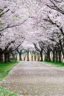 underneath the cherry blossoms