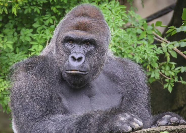 New Poll Shows Independent Candidate Snatching Hillary And Trump's Votes, His Name Is Harambe The Dead Gorilla - http://viralfeels.com/life/new-poll-shows-independent-candidate-snatching-hillary-and-trumps-votes-his-name-is-harambe-the-dead-gorilla/