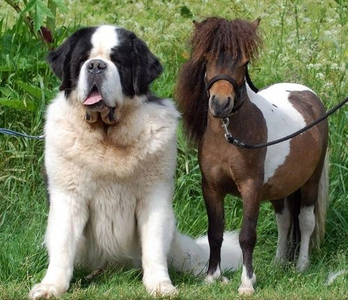 falabella and a saint-bernard - how beautiful? Our St. met a mini horse that was just his height, only heavier. We got pix just like this.