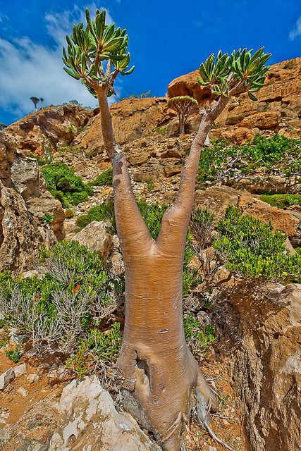 Homhill, garden full of bottles and dragons blood trees, #Socotra #Island, Yemen ~ #UNESCO World Heritage Site.  Photo: anthony pappone photographer, via Flickr http://reversehomesickness.com/asia/socotra-the-most-alien-place-on-earth/