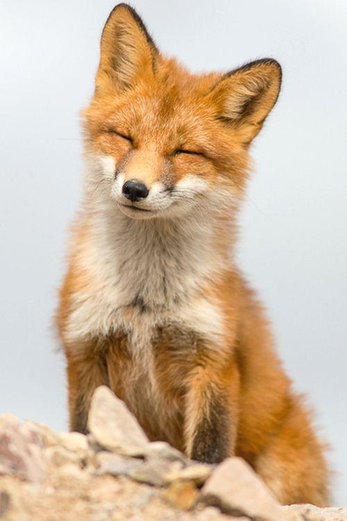 Red Fox by Ivan Kislov
