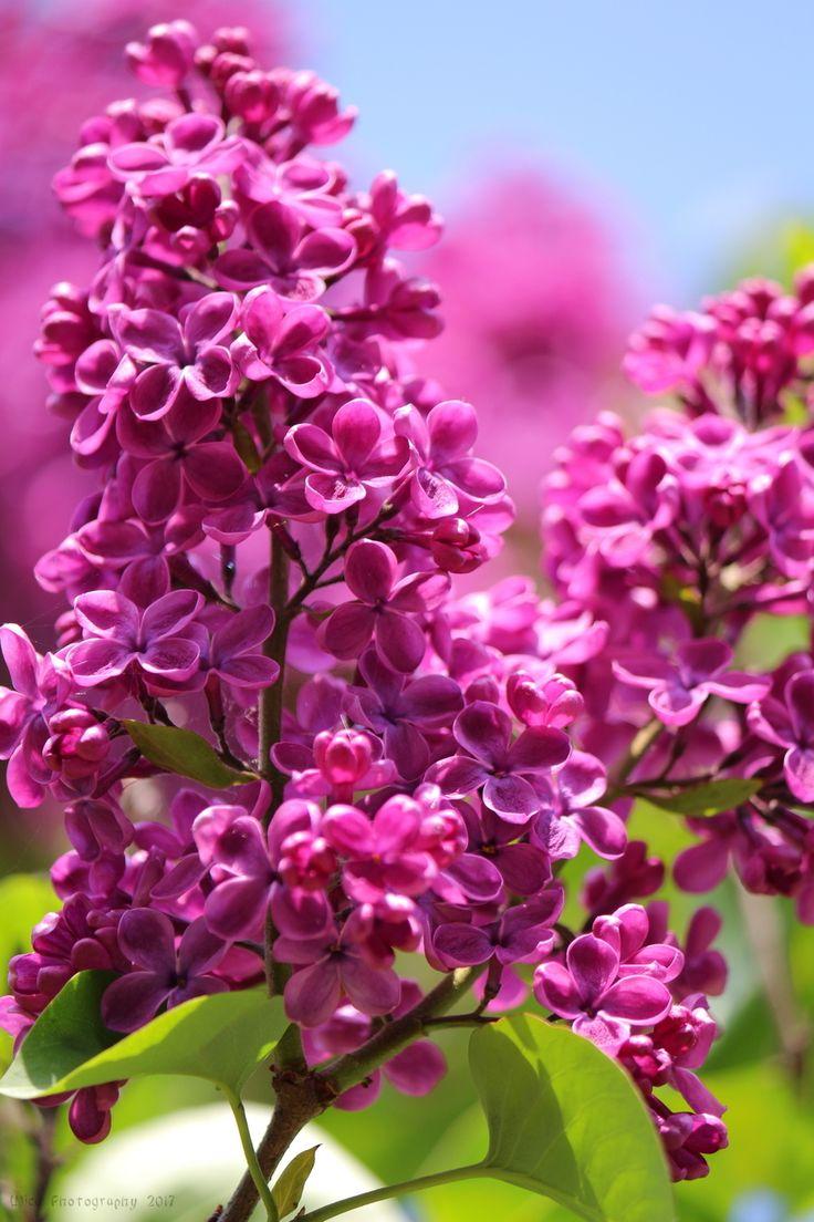 I bellissimi fiori di lillà... :)