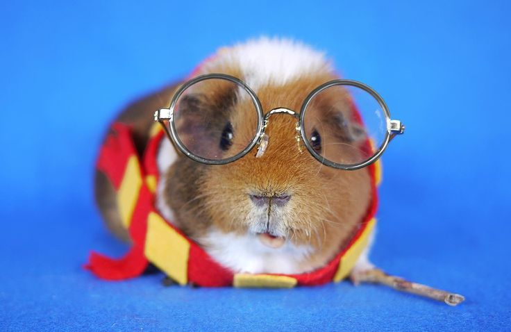Fuzzberta, a guinea pig, has become famous in the world of Instagram because of her adorable pictures in hilarious outfits.
