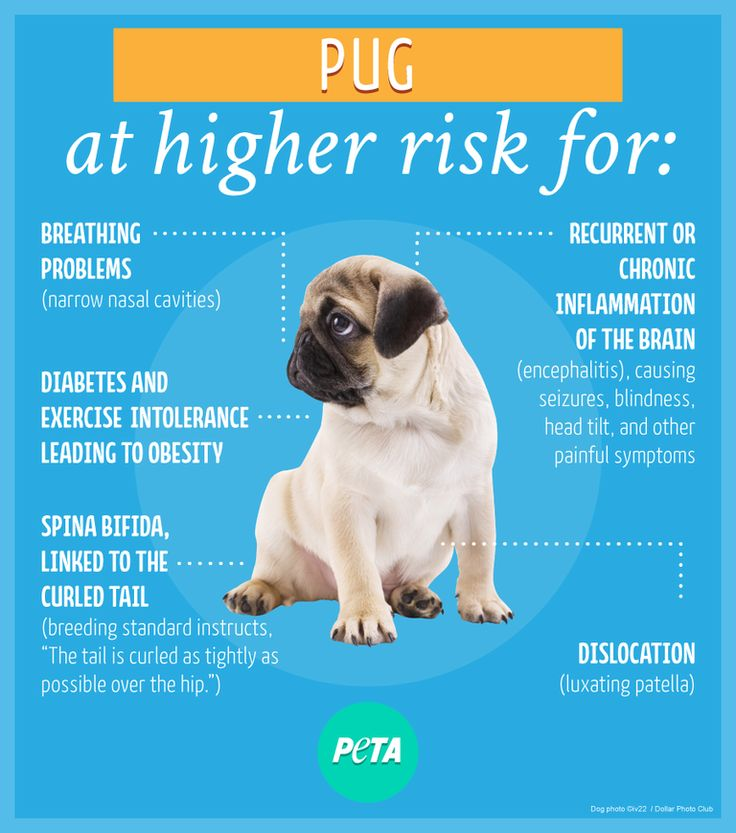 Pugs are prone to developing spina bifida because many breeders feel that the tail must be curled as tightly as possible over the hip. They are also more likely to suffer from the other conditions shown in the image above.