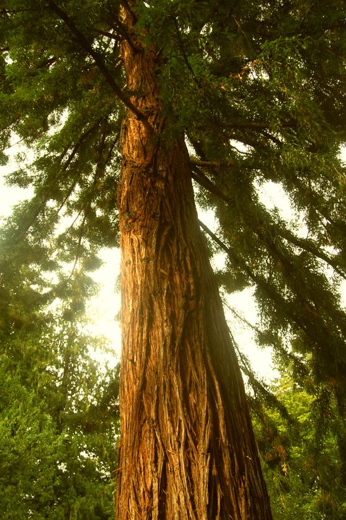 Amazingly tall Giant Red Cedar trees in Stanley Park   Vancouver, British Columbia