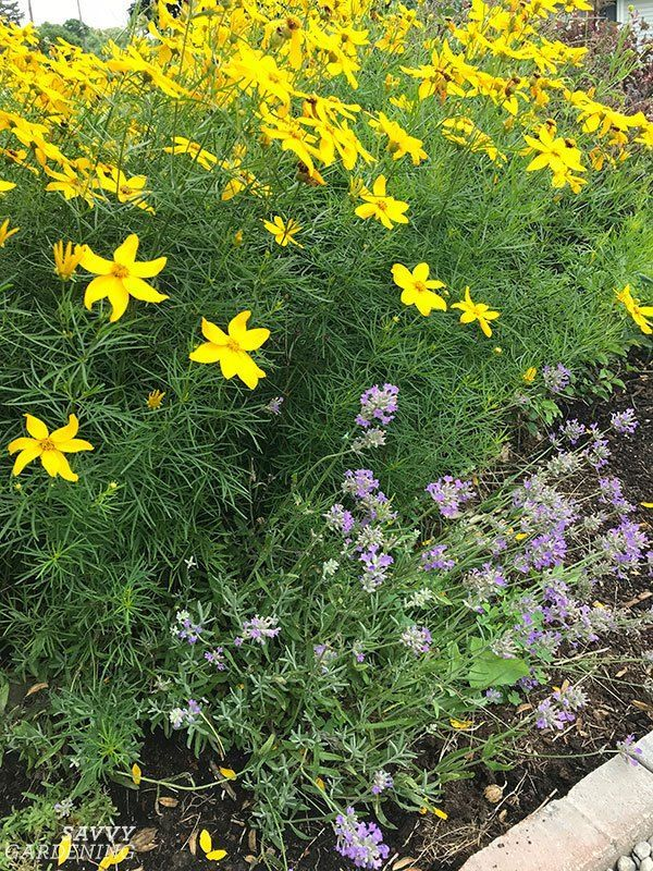 Coreopsis Zagreb And Other Cheerful Tickseed Varieties For The Garden In 2020 Deer Resistant Perennials Yellow Perennials Perennials
