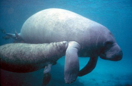 Learn all you wanted to know about manatees with pictures, videos, photos, facts, and news from National Geographic.
