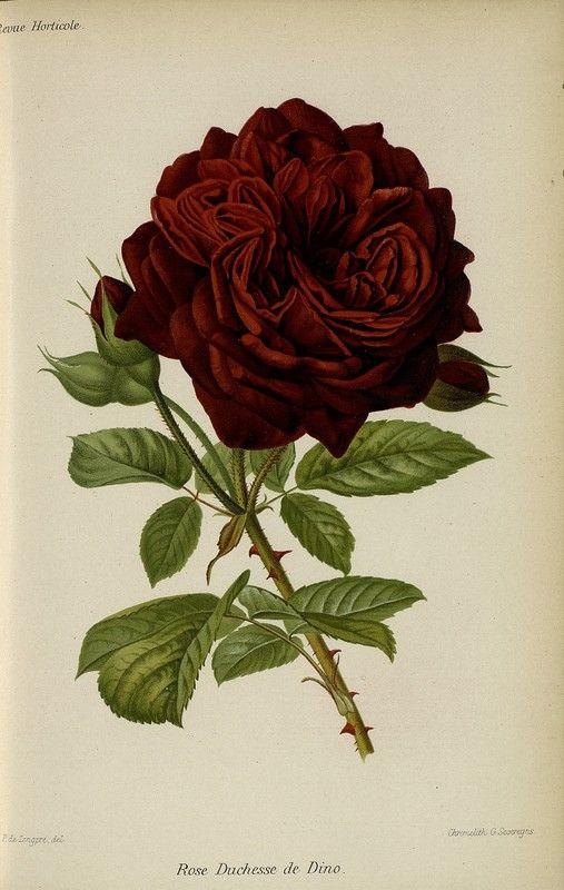 SNHF | Rose Duchesse de Dino