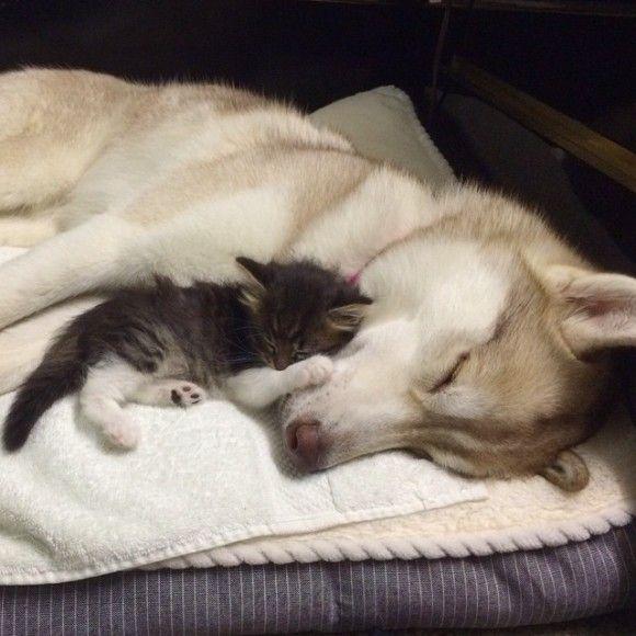 みなしご子猫が母の面影を求めて迷い込んだのはハスキー犬の懐だった。