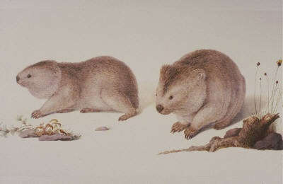 bauer wombats