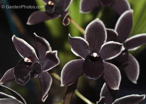 The Black Orchid, Cymbidium Black Ruby, at the Philadelphia Flower Show (click to enlarge)