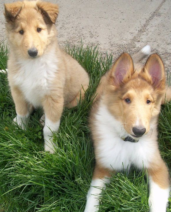 Pictures of Collie Dog Breed