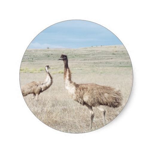 two curious emu's