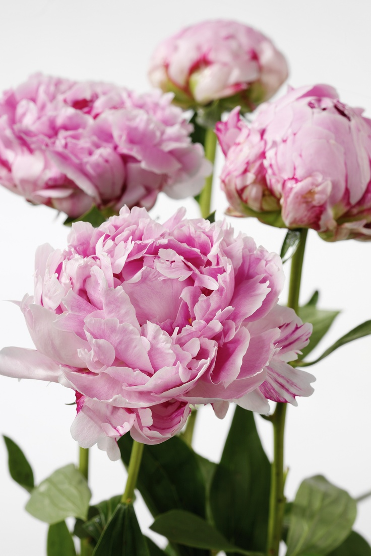 Luktpion, Paeonia lactiflora 'Sarah Bernhardt'