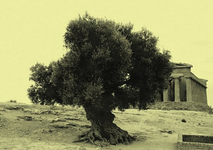 Amazing Olive tree in front of an ancient Greek temple. Photo taken by Lechiti