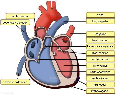 Online puzzels - klik op het plaatje. Op deze websites zijn verschillende puzzels te vinden (aan de linkerkant) over het hart en de werking. Maak de puzzels en lees de informatie.