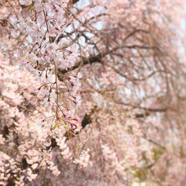 【___5519___】さんのInstagramをピンしています。 《ツライとき、お花見したい。 #名古屋#名古屋城#春#桜#花見#nikon#d3100nikon #写真》
