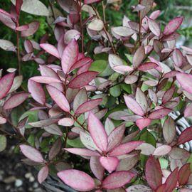 Pseudowintera colorata 'Mount congreve'