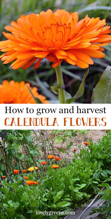 How to grow Calendula officinalis, a golden edible flower and healing skin herb.