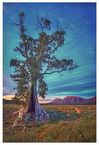 Tortured tree, Flinders Ranges - South Australia. Photo: Chris Morrison.