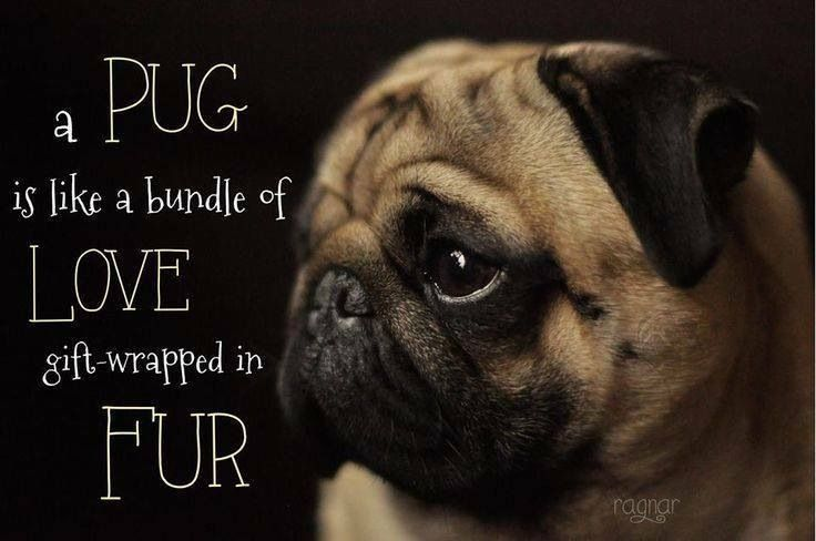 A pug is like a bundle of love gift-wrapped in fur!