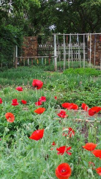 Poppies in the vegetable garden