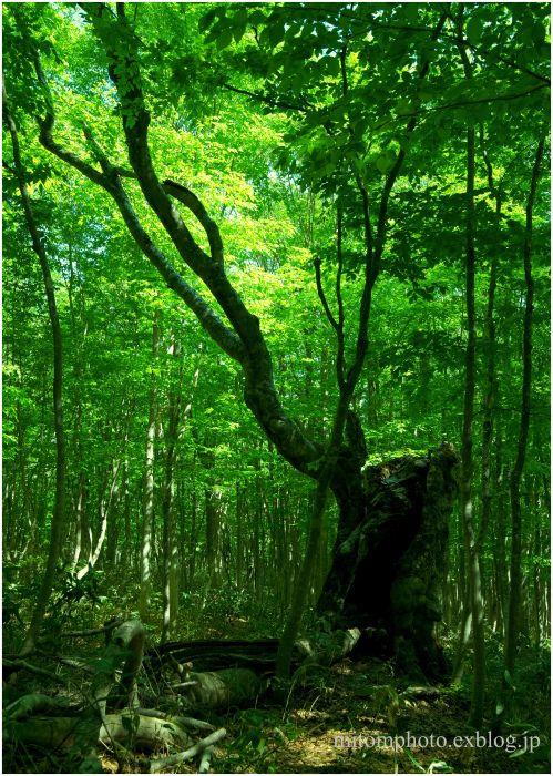 八幡平の風景 森の指揮者 (安比高原ブナ二次林の「グランドマザーツリー」) : 三友写真部