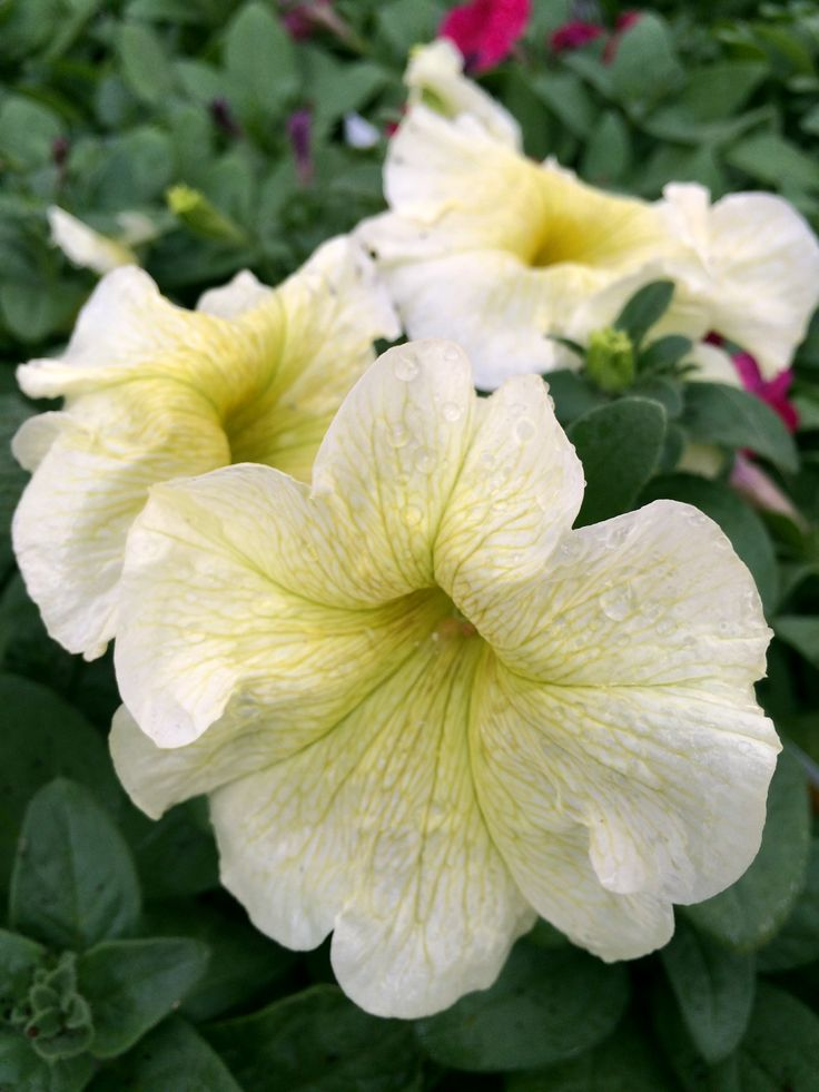 Fantastic Petunias! Petunias love sunny days and autumn days are perfect to grow the best.