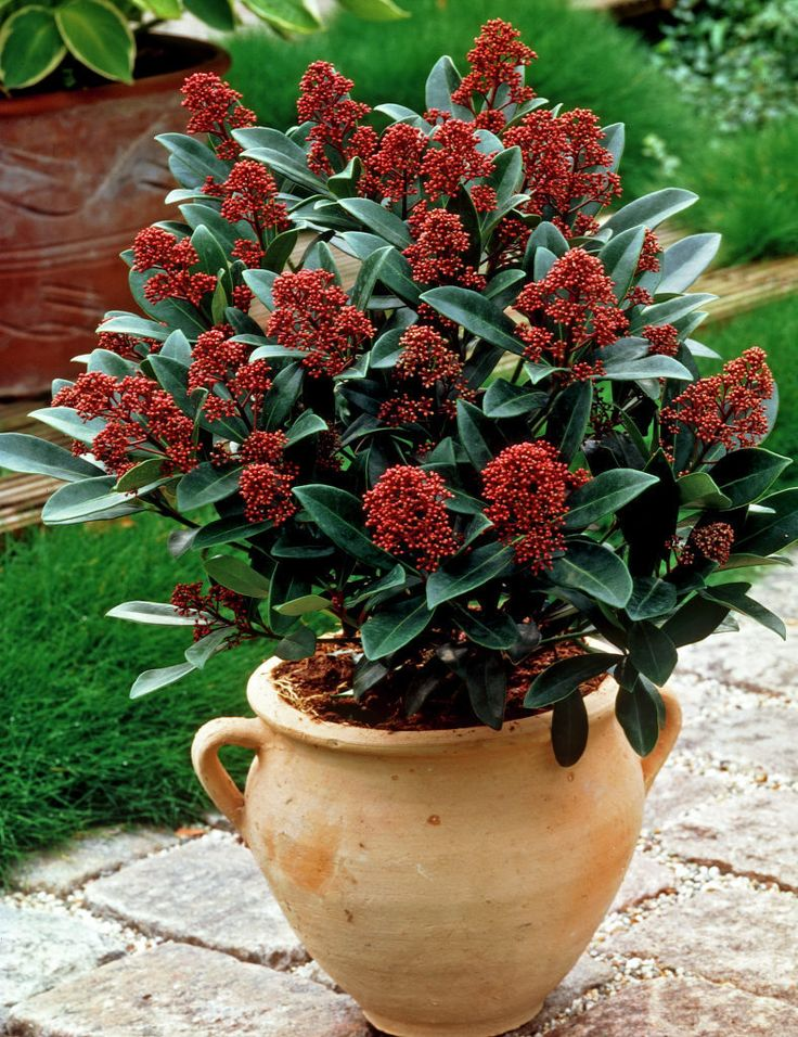 47 best images about skimmia japonica on pinterest gardens white flowers and shrubs. Black Bedroom Furniture Sets. Home Design Ideas